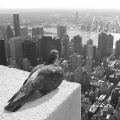 600px-Feral_pigeon_-Empire_State_Building,_New_York_City,_USA-31Aug2008