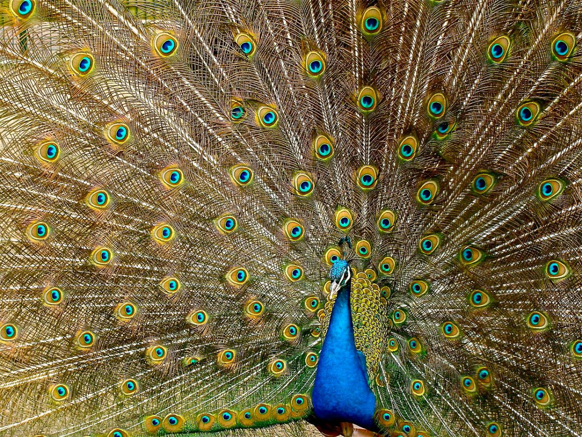 The Peacock, worshipped and revered around the world, and not just because he is a showoff!