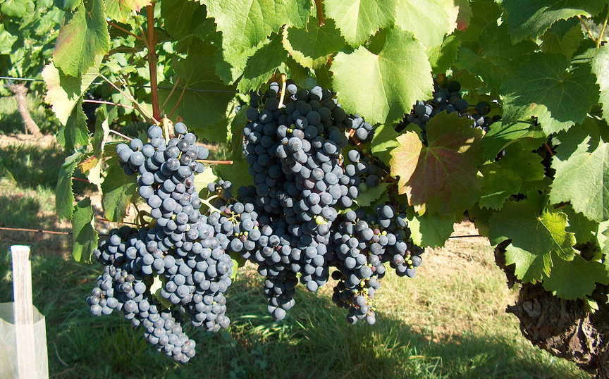 malbec-grapes-by-lapastoure-didier.jpg